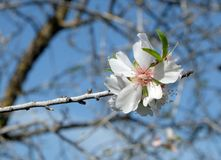 Vårblomning av den lösa mandeln Arkivfoton