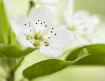 Vårblomning av fruktträdblommamakroen Arkivbilder