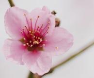 Vårblomning av fruktträdblommamakroen Arkivfoton