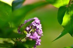 Vårblomning av lilan royaltyfri bild