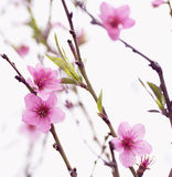 Vårblomning av makroen för fruktträdblommapersika Royaltyfria Bilder