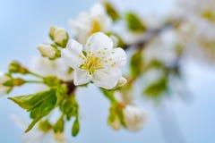 Vårblomning av slutet för körsbärsrött träd upp royaltyfria bilder
