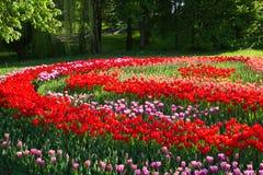 Vårblomning av tulpan i parkera Royaltyfria Bilder