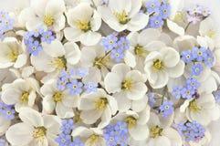 Vårblomning/vita blommor för vår med blått glömma-mig-nots fotografering för bildbyråer