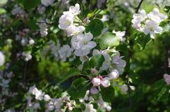 VårblomningApple-träd Royaltyfri Fotografi