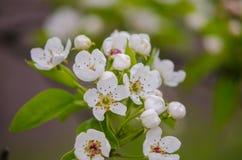 Vårblomningaprikors Royaltyfria Foton