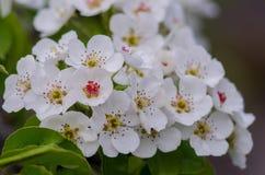 Vårblomningaprikors Fotografering för Bildbyråer