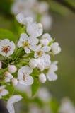Vårblomningaprikors Royaltyfria Bilder