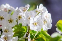 Vårblomningaprikors Arkivfoto