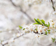 Vårblomningar Royaltyfri Fotografi