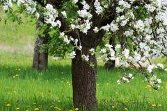 Vårblomningbakgrund Härlig naturplats med det blommande trädet av äpplet Fotografering för Bildbyråer
