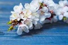 Vårblomningen blommar aprikons på blå träbakgrund Royaltyfria Bilder