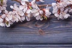 Vårblomningen blommar aprikons på blå träbakgrund Arkivfoton
