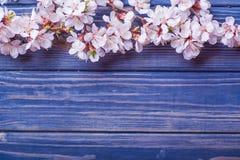 Vårblomningen blommar aprikons på blå träbakgrund Royaltyfri Fotografi