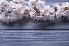 Vårblomningen blommar aprikons på blå träbakgrund Arkivbild