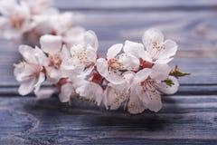 Vårblomningen blommar aprikons på blå träbakgrund Royaltyfri Foto