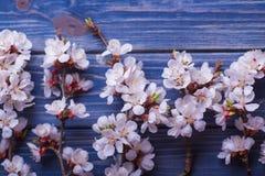 Vårblomningen blommar aprikons på blå träbakgrund Fotografering för Bildbyråer