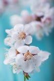 Vårblomningen blommar aprikons på blå träbakgrund Royaltyfri Bild