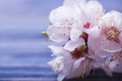 Vårblomningen blommar aprikons på blå träbakgrund Arkivbilder