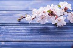 Vårblomningen blommar aprikons på blå träbakgrund Arkivfoto