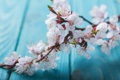 Vårblomningen blommar aprikons på blå träbakgrund Royaltyfria Foton