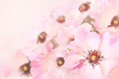 Vårblomningen eller att blomstra för sommar steg nyponblommor royaltyfria foton