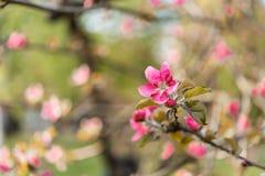 Vårblomningfilialer av äpplet Arkivfoton