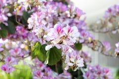 Vårblomningmjukhet Ljusa blommor av trädet för körsbärsröd plommon på bakgrund av blå himmel Cyan rosa färgkontrast arkivbild