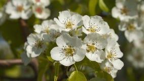 Vårblomningträd lager videofilmer
