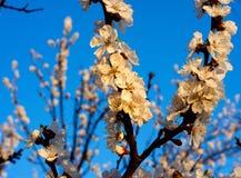 Vårblomningträd på blå himmel Arkivfoton