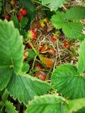 Vård- livstart med jordgubben för några frukter arkivfoton