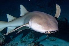 Vårda Shark som är nära upp på svart på natten Royaltyfria Bilder