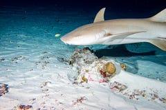 Vårda Shark som är nära upp på svart på natten Royaltyfri Foto