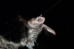 Vårda Shark som är nära upp på svart på natten Arkivbild