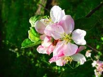 Vårdag och filialer av äppleblomningar i trädgården royaltyfria foton