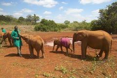 Vårdaren för den afrikanska elefanten med adoptiv- behandla som ett barn den afrikanska elefanten på David Sheldrick Wildlife Tru Arkivbild