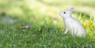 Våreaster vit kanin på grönt gräs i ett panorama- baner för solig dag fotografering för bildbyråer