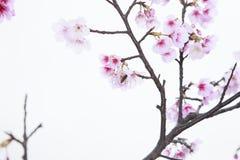 Våren är kommande körsbärsröda blomningar är blommande Arkivfoton