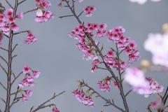 Våren är kommande körsbärsröda blomningar är blommande Fotografering för Bildbyråer