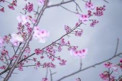 Våren är kommande körsbärsröda blomningar är blommande Arkivbilder