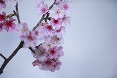 Våren är kommande körsbärsröda blomningar är blommande Arkivbild
