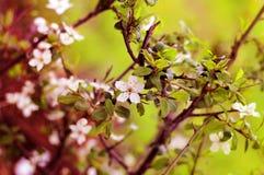 Våren blommar den blommande vita körsbärsröda closeupen på en bakgrund bl Arkivfoto
