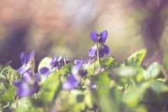 Våren blommar den fyllda altfiolsororiaen Fotografering för Bildbyråer