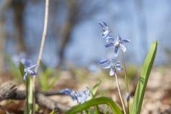 Våren blommar Härlighet-av--snöar Royaltyfri Fotografi