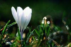 Våren blommar i en kruka på fönstret Fotografering för Bildbyråer