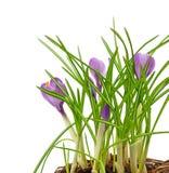 Våren blommar krokus Arkivfoto
