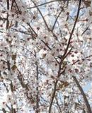 Våren blommar med blå bakgrund Fotografering för Bildbyråer