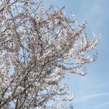 Våren blommar med blå bakgrund Royaltyfri Fotografi