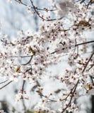 Våren blommar med blå bakgrund Royaltyfri Foto