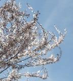 Våren blommar med blå bakgrund Arkivfoton
